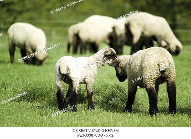 Lambs on pasture