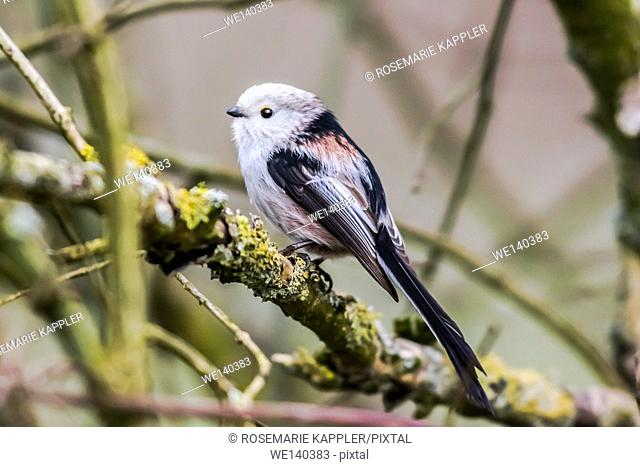 Germany, Saarland, Homburg, A long-tailed tit is sitting on a branch