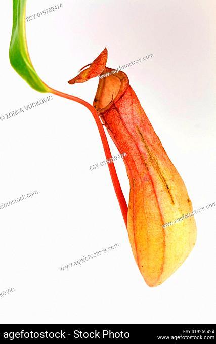Nepenthes alata,Kannenpflanze, fleisch
