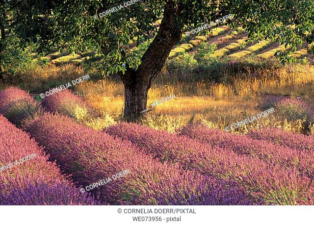 Walnut Tree in Lavender field, Provence Alpes Cote d'Azur, Provence, France