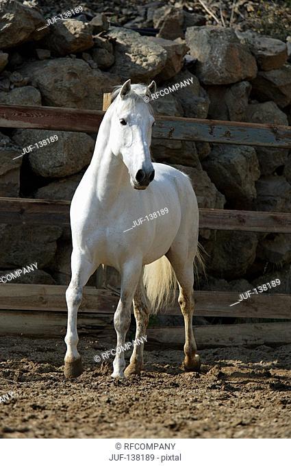 Andalusian horse - walking