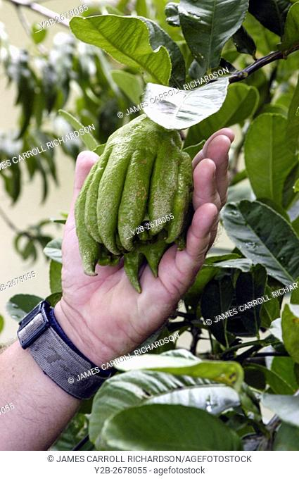 Buddha's Hand (Citrus medica) in Central Florida