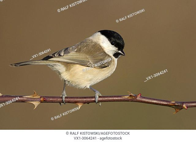 Marsh Tit ( Poecile palustris ), perched on a thorny tendril, nice side view, fabulous light, wildlife, Europe