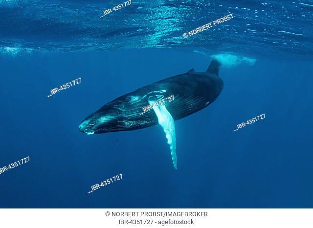 Humpback whale (Megaptera novaeangliae), young, calf, in the open sea, Silver Bank, Silver and Navidad Bank Sanctuary, Atlantic Ocean, Dominican Republic