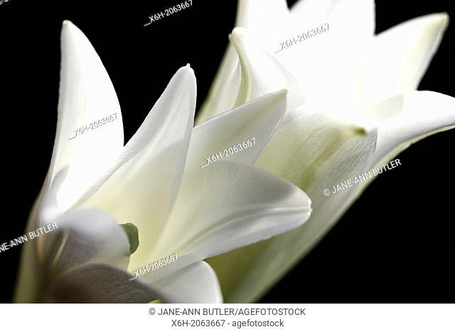 two striking white longiflorum blooms on black