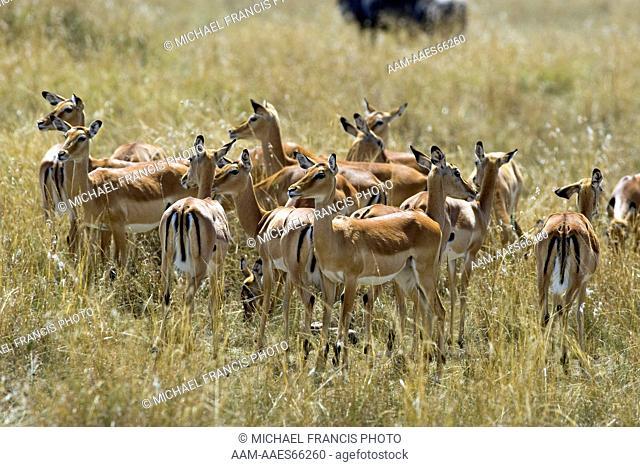 Impala (Aepyceros melampus), female herd Maasai Mara National Reserve Kenya