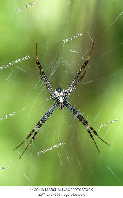 St. Andrew's Cross Spider (Argiope versicolor), female on web, Klungkung, Bali, Indonesia
