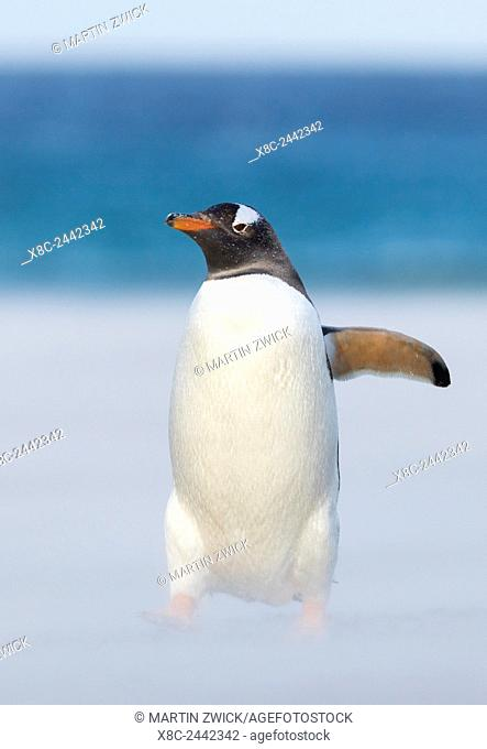 Gentoo Penguin (Pygoscelis papua) on the Falkland Islands, crossing a wide sandy beach while walking up to their rookery