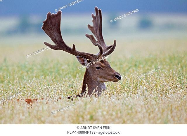 Fallow deer (Dama dama) buck with antlers covered in velvet in cornfield in summer