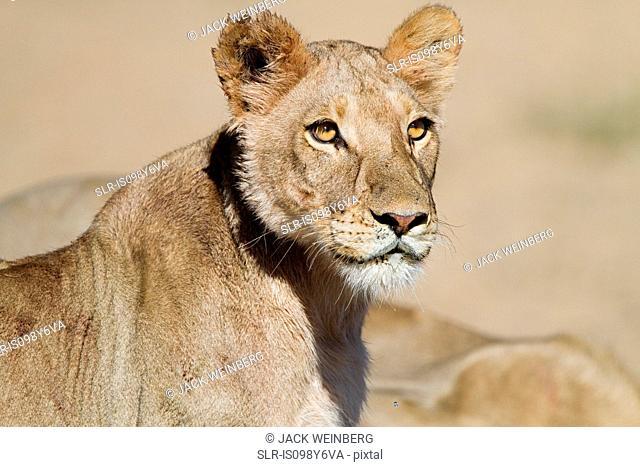 Lioness, portrait