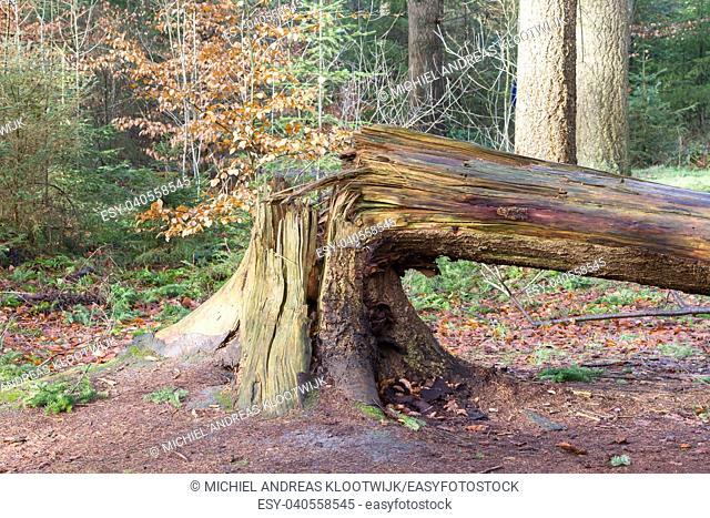 Fallen tree in a dutch forest - Storm