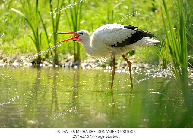 Close-up of a white stork (Ciconia ciconia) at the water stain in spring