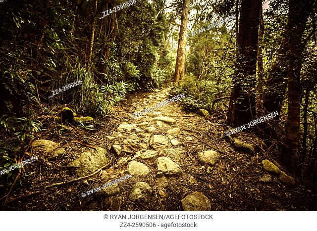 Beautiful lush green rock encased pathway trailing through temperate Tasmanian forestry. Forest paths