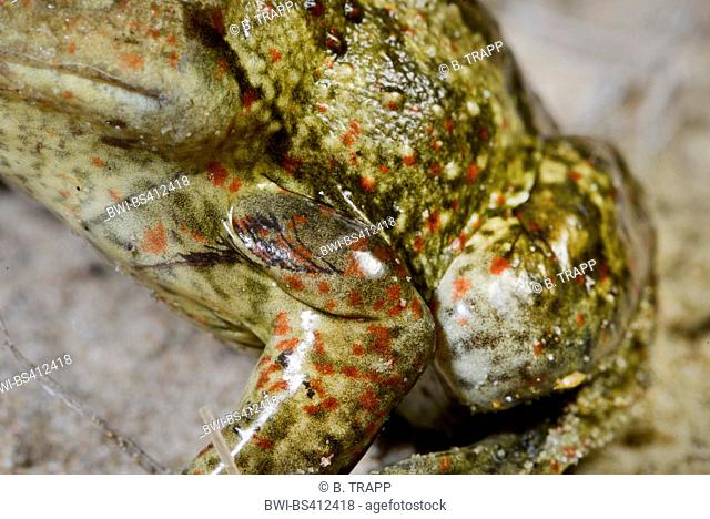 common spadefoot, garlic toad (Pelobates fuscus), male with gender specific glands at upper arm, Romania, Moldau, Iași