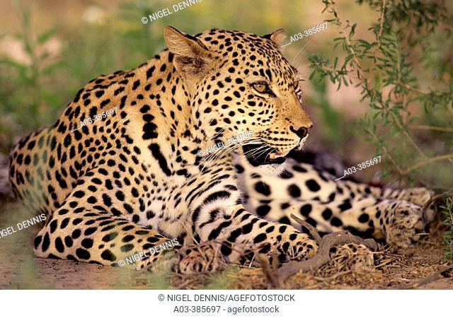 Leopard (Panthera pardus), Kgalagadi Transfrontier Park (formerly Kalahari-Gemsbok National Park), South Africa