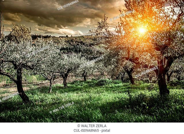 Olive trees in Chieti, Abruzzo, Italy