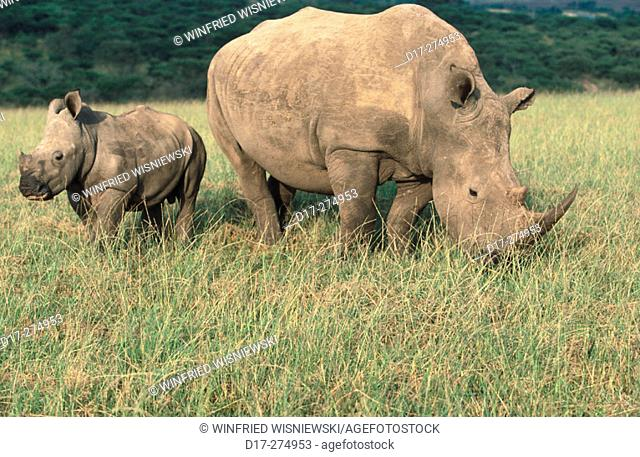 White Rhinoceros or Wide-mouthed Rhinoceros (Ceratotherium simum), female with a young. Hluhluwe-Umfolozi National Park. South Africa