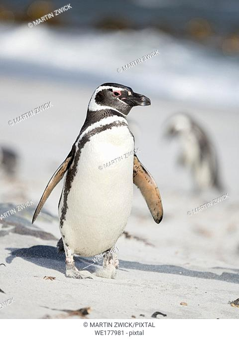 Magellanic Penguin (Spheniscus magellanicus). South America, Falkland Islands, January