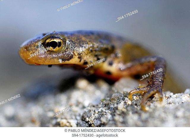 Iberian newt Lissotriton boscai in a pond of San Xoan de Rio, Orense, Spain