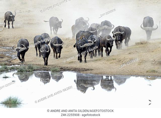 African Buffalo (Syncerus caffer) herd with reflection going to drink from a pond at Ndutu swamp, Serengeti national park, Tanzania