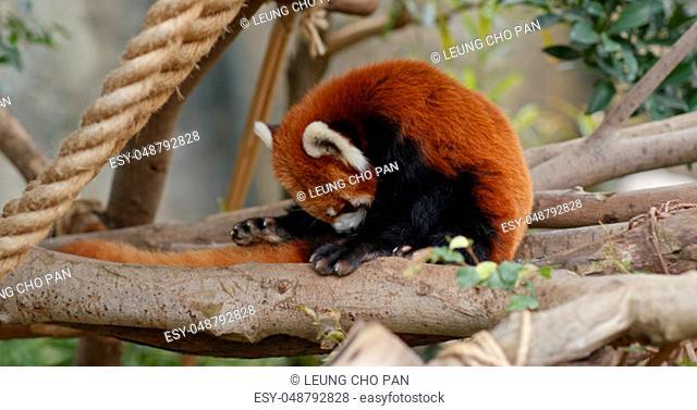 Red panda in zoo park