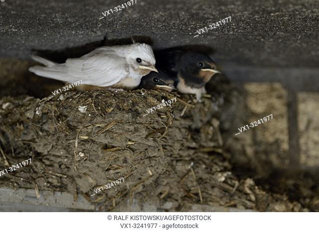 Barn Swallow ( Hirundo rustica ), chicks in nest, almost fledged, one with white plumage, rare gene mutation, leucistic, leucism, Europe
