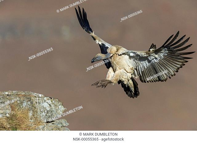 Cape Vulture (Gyps coprotheres) landing on mountain ledge, South Arica, KwaZulu-Natal, Giants Castle Nature Reserve