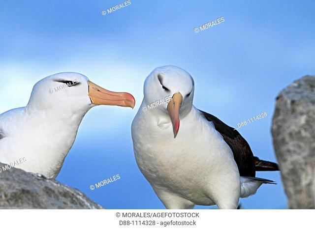 Black-browed Albatross (Thalassarche melanophrys). Steeple Jason, Falkland Islands