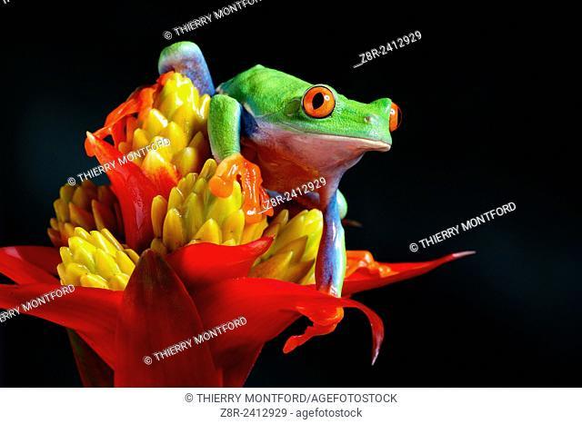Agalychnis callidryas. Red eyed tree frog on a Guzmania flower. Costa Rica
