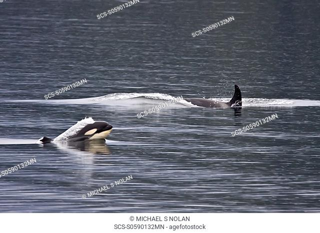 A small resident Orca pod Orcinus orca encountered in Chatham Strait, Southeast Alaska, Pacific Ocean MORE INFO: The Orca is the largest member of the dolphin...