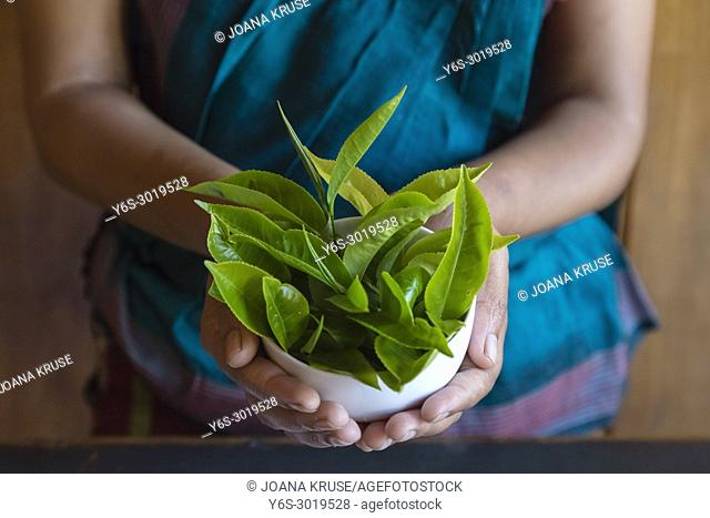 Glenloch tea factory, Ramboda, Sri Lanka, Asia
