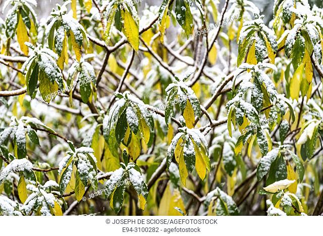 A dusting of snow on the leaves of an Edgeworthia plant in a garden during a snow storm. Birmingham, Alabama, USA