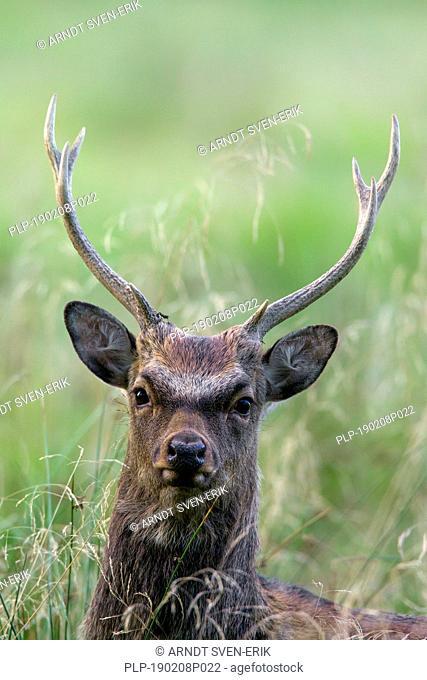 Sika deer / spotted deer / Japanese deer (Cervus nippon) close up portrait of stag, native to Japan and East Asia