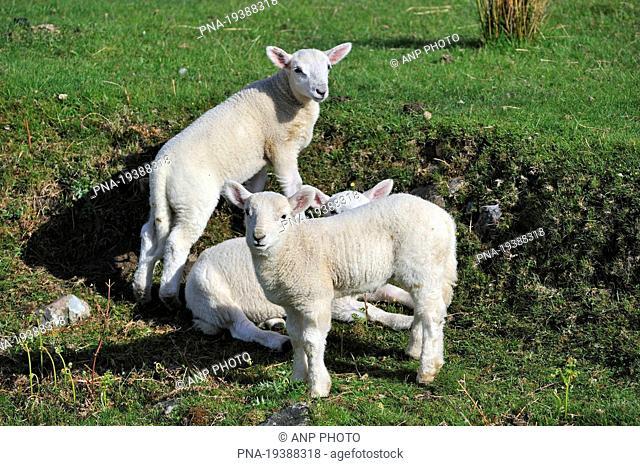Cheviot sheep Ovis domesticus - Highland, Scotland, Great Britain, Europe