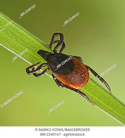 Castor Bean Tick (Ixodes ricinus) on a blade of grass, Hesse, Germany, Europe
