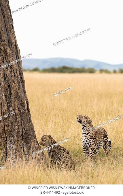 Female leopard (Panthera pardus) with cub in front of a tree in the savanna, Masai Mara Preserve, Kenya