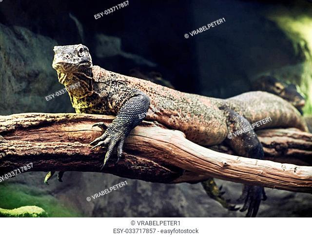 Photo of the Komodo dragon (Varanus komodoensis). Animal scene. Protected animal species