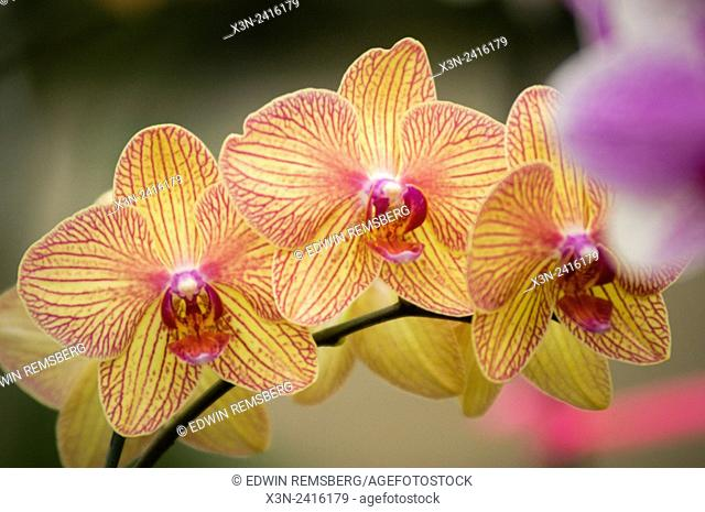 Florida, USA - Orchids at RF Orchids in Homestead Florida