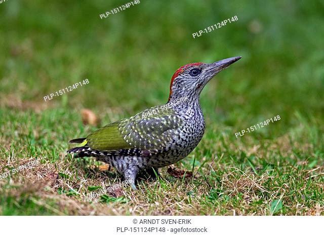European green woodpecker (Picus viridis) juvenile foraging in grassland