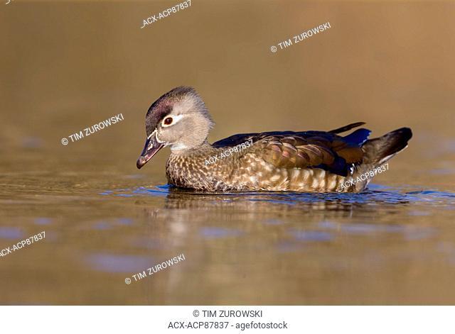 Wood Duck - Burnaby Lake, BC