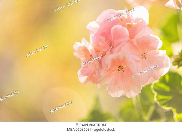 Pink geranium bathing in sunlight