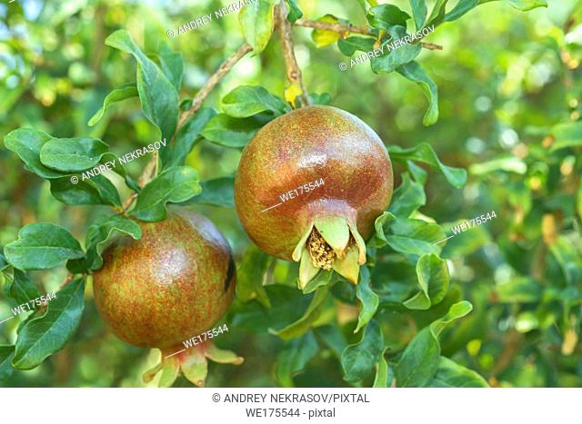 Ripe pomegranate fruit on tree branch. Pomegranate, Punica granatum