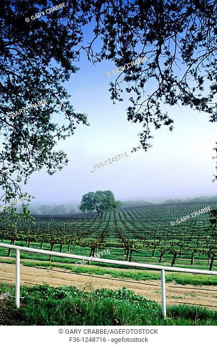 Morning fog over vineyard along Union Road, Paso Robles San Luis Obispo County, California