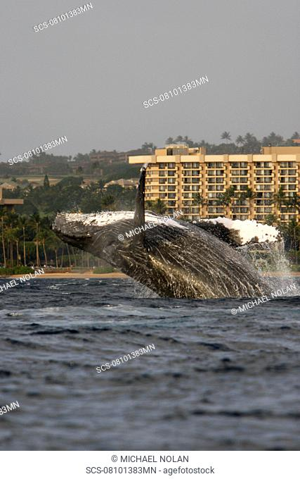 Adult humpback whale Megaptera novaeangliae breaching in front of the Hyatt Resort on Ka'anapali Beach in the AuAu Channel, Maui, Hawaii Pacific Ocean