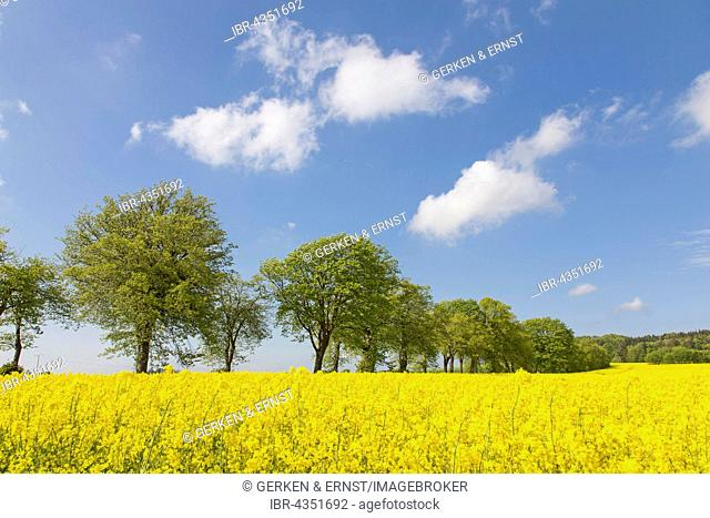 Tree alley with blooming rape field in spring, Schleswig Holstein, Germany