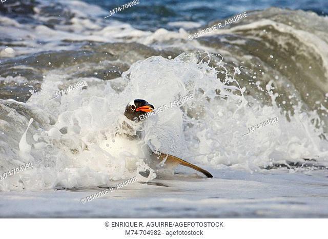 Gentoo Penguin Pygoscelis papua papua in the surf, Falkland Islands, South Atlantic Ocean