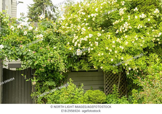 Canada, BC, Delta. Flowering shrubs and rose, climbing over garden shed and gate. Rambling rose (rosa) and honeysuckle (caprifoliaceae)