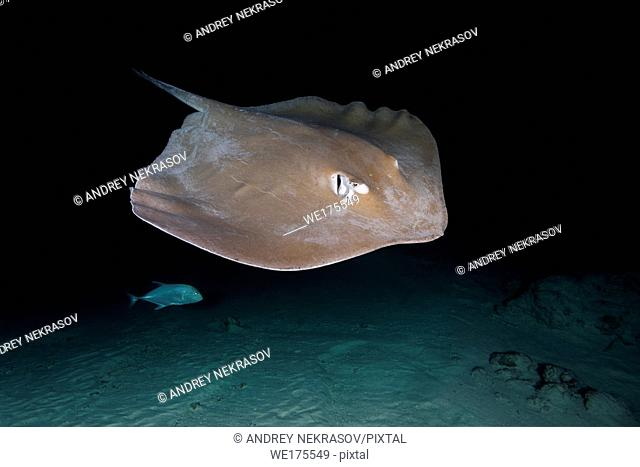 Pink Whipray, Himantura fai swim over sandy bottom in the night. Indian Ocean, Maldives