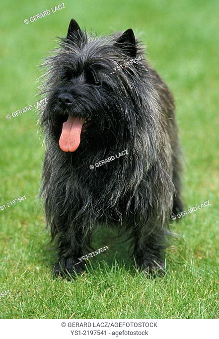 Cairn Terrier, Dog standing on Lawn