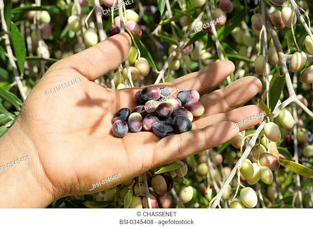 Photo essay. Olive growing in Tunisia. The olives are hand harvested